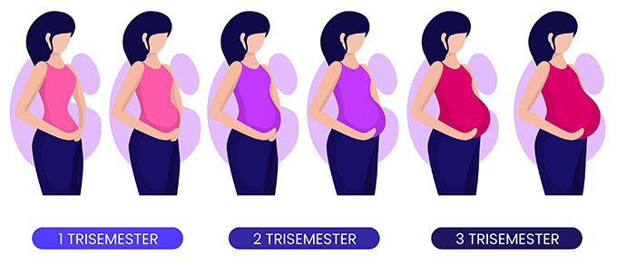 3 pregnancy stages